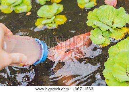 Feeding Fishes From Baby Bottles. Koi Carps