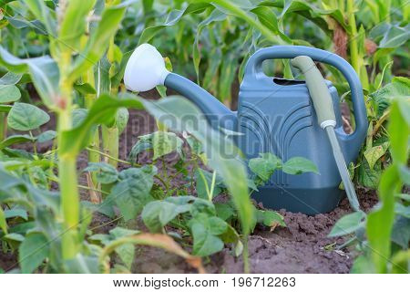 Watering can and small hand garden rake on cornfield in summer day. Selective focus on watering can