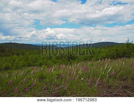 Foxgloves Meadow With The Spruce Forest And Hills