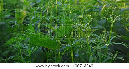 Green Plants And Leaves Background With Nettles And Cleavers