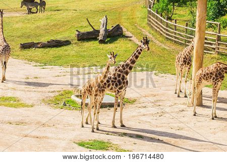 giraffes in the zoo safari park. Beautiful wildlife animals on sunny warm day.