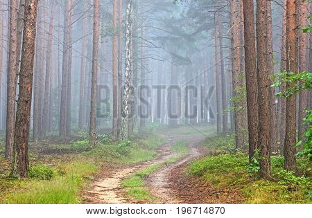 Forest, ground, sandy road. Between raspberries and green grass grow along the sides of the road. The road leads through a tall pine forest, Between the trees, there is a mist. It's daytime.
