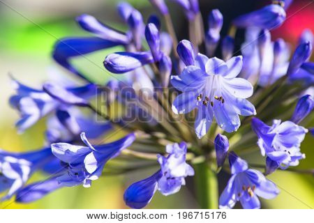 Detail of blue Agapanthus