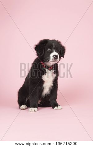 Cute border collie puppy on pink background