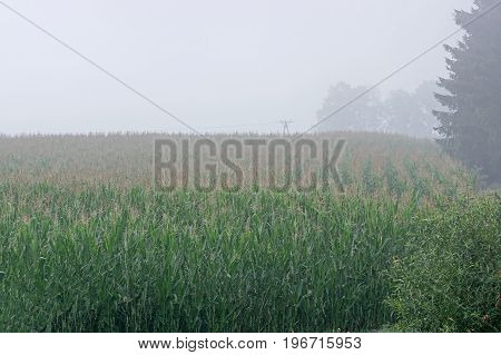 Cultivated field on which grow high, green corn seedlings. You can see the rows in which the seeds have been sown. In the distance you can see the trees hidden behind the mist. It's summer. It's a foggy day.