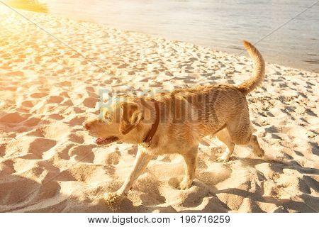 Happy Labrador retriever running through sand, dog on the beach. Sunset light, copy space