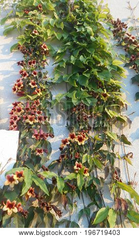 Trumpet vine (trumpet creeper) on the white wall