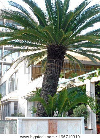 Sago palm, decorative element in the tourist resort