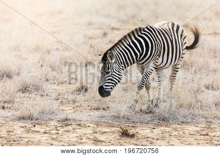 Burchell or Plains Zebra in Kruger National Park, gazing in scrubland in late afternoon sunshine.