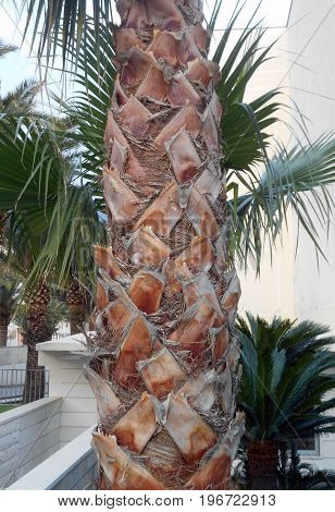 Tree trunk of Chinese windmill palm, with remains of leaf stems