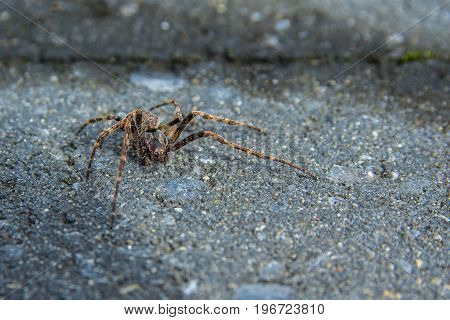 a common house spider walking on the ground
