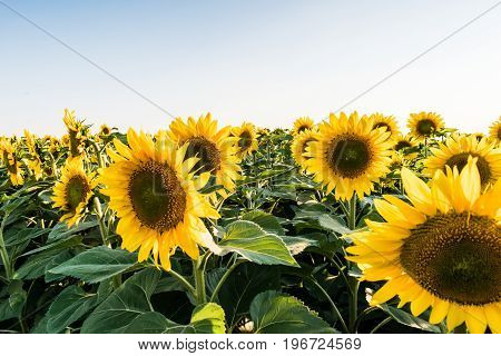 Beautifull yellow sunflowers on big field. Clear blue sky on background.