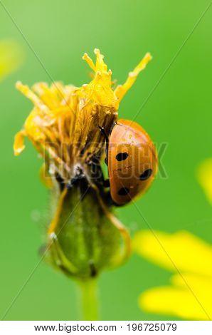 Seven-spot ladybird climbing the flower. Nice macroshot on a green smooth background.