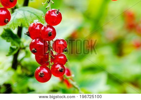 Very tasty looking red currant growing on a bush. Closeup shot on blurry green background.