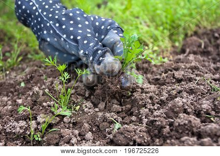 hand of gardener weeding bed with carrot in the vegetable garden