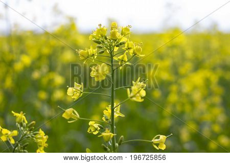 Rapeseed field blooming canola flowers close-up. Bright yellow rapeseed oil. In the summer growing in Russia