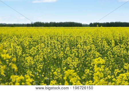 Rapeseed (Brassica napus) oil seed rape Field of bright yellow rapeseed in spring Russia