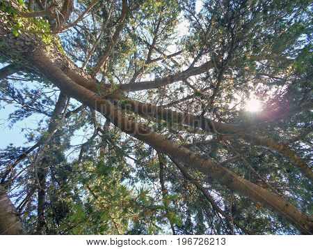 Treetop of the pine tree in the coniferous wood