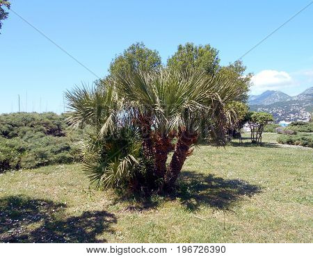 European fan palm on the lawn, with Juniper shrubs in the back, in the Mediterranean city park