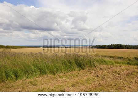Wheat Fields And Thistle Flowers