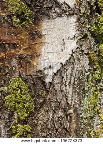 lichen and patterns on an old poplar tree trunk