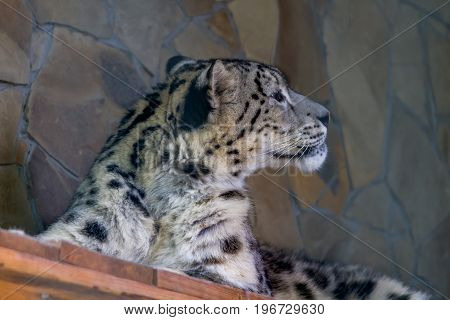 Snow Leopard Is Half-open And Looks To The Left
