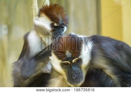 Collared mangabey monkeys at Zoologischer Stadtgarten Karlsruhe Germany. The collared mangabey (Cercocebus torquatus) also known as the red-capped mangabey or the white-collared mangabey.