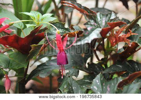 Flor rosa del jardín, mejor conocida como