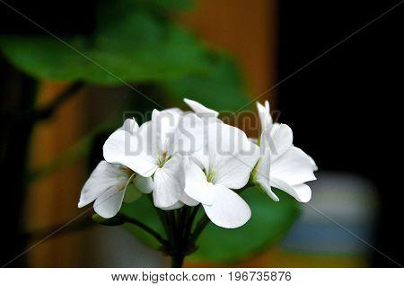 Bella flor blanca en el jardín de mamá