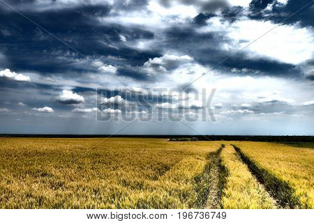 Traces of agricultural vehicles in the field of grain