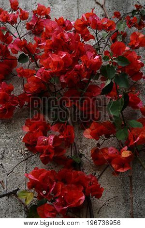Red flowers on a gray wall, the nature and traces of activity of people