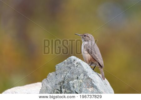 A Rock Wren perches on a rock. Vancouver Canada.