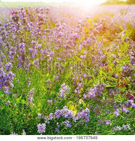 Flowering bush of lavender in morning sun.