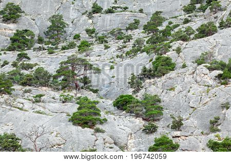 Mountain wall growing on her juniper trees