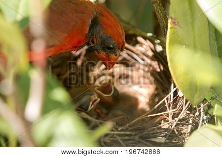 A very red male cardinal looks down at his babies in the nest