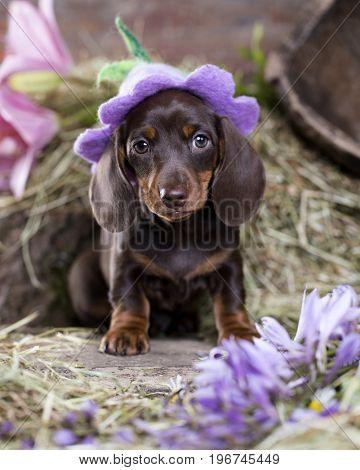 Dachshund puppy in hat