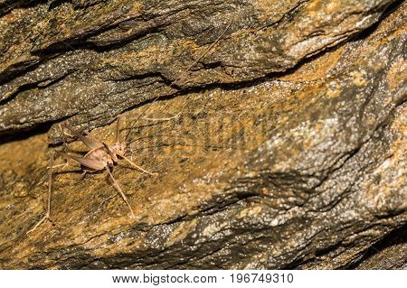 A close up of a Camel Cricket in a cave in Connecticut.