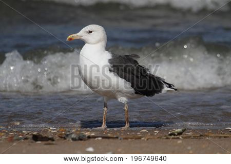 Adult Greater Black-backed Gull (Larus marinus) standing by the Atlantic Ocean