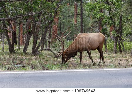 male elk at grand canyon national park.