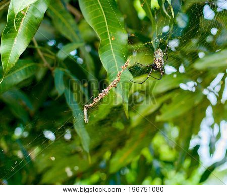 Image of batik golden web spider Nephila antipodiana in the net. Insect Animal. Rural Thailand