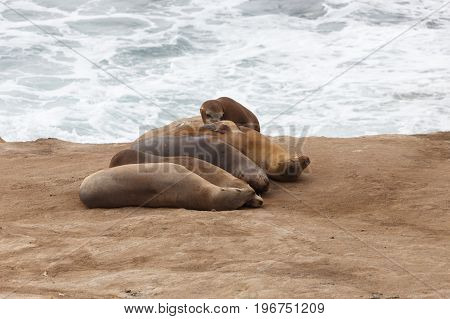California Sea Lions on the rocks at La Jolla Cove San Diego
