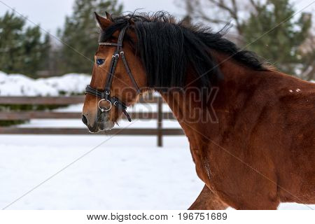Horizontal Portrait Of A Beautiful Brown Horse With Black Mane In Winter