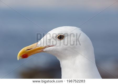 Close up of a Western Gull in San Diego