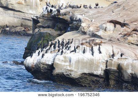 Brandt's Cormorants (Phalacrocorax penicillatus) la jolla beach California USA