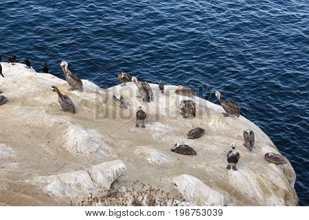 Brown pelican (Pelecanus occidentalis) San Diego California