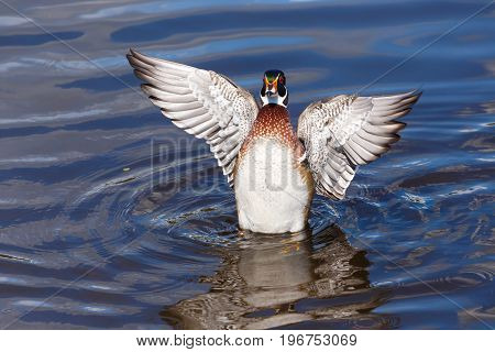 Male Wood Duck Floating in the water