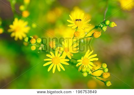 Yellow Buttercup Flowers In The Meadow And Summer Day. With Insects On Flowers.