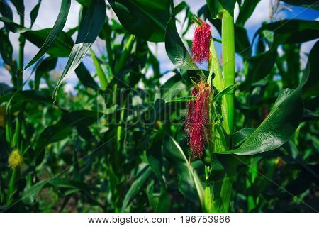 Green Corn Field In Agricultural Garden With With Blue Sky Background. Summer