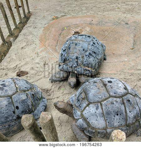 Giant Tortoises in Singapore Zoo on sand
