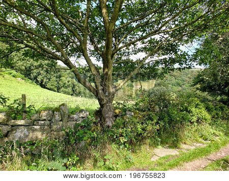 country lane with dry stone wall and tree with fields and woodland in yorkshire